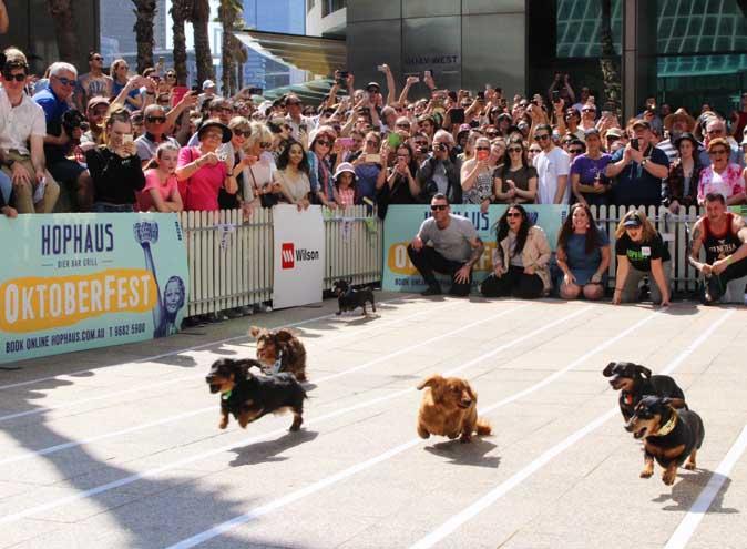 hophaus dachshund race oktoberfest hophaus october germany sausage dog melbourne hidden city secrets